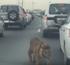 tiger-loose-in-doha-qatar