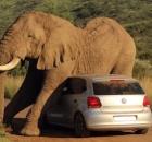 scary safari incident elephant crushing car