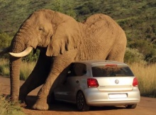 scary safari incident elephant crushing car